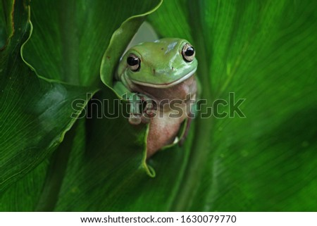 Australian white tree frog on leaves, dumpy frog on branch, animal closeup, amphibian closeup #1630079770