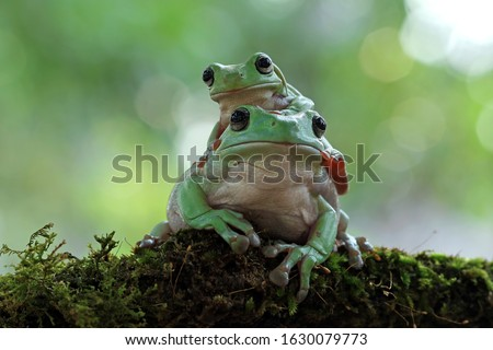 Australian white tree frog on leaves, dumpy frog on branch, animal closeup, amphibian closeup #1630079773