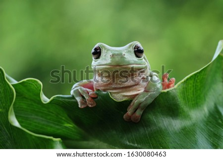 Australian white tree frog on leaves, dumpy frog on branch, animal closeup, amphibian closeup #1630080463