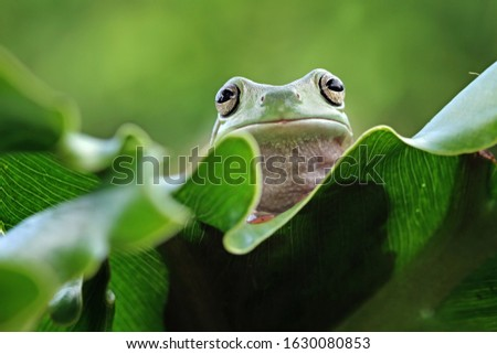 Australian white tree frog on leaves, dumpy frog on branch, animal closeup, amphibian closeup #1630080853
