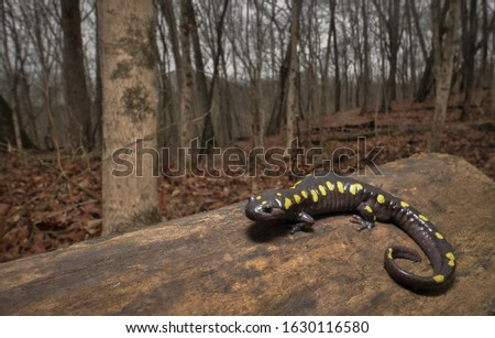 Spotted salamander in forest habitat wide angle macro