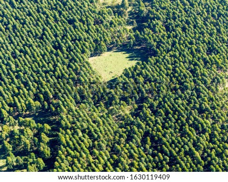 Pine plantation of the eucalyptus variety. They are used in forest plantations for the paper industry, timber. #1630119409