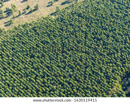 Pine plantation of the eucalyptus variety. They are used in forest plantations for the paper industry, timber. #1630119415