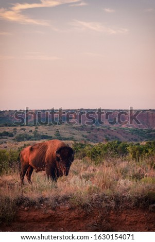 Hungry Plains Bison Portrait With Canyon #1630154071
