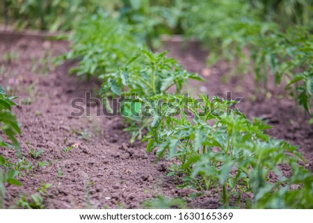 Growing tomatoes on bed in raw in field in spring. green seedling of tomatoes growing out of soil. Densely planted young tomato plants ready for planting. #1630165369