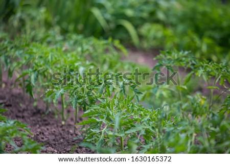 Growing tomatoes on bed in raw in field in spring. green seedling of tomatoes growing out of soil. Densely planted young tomato plants ready for planting. #1630165372