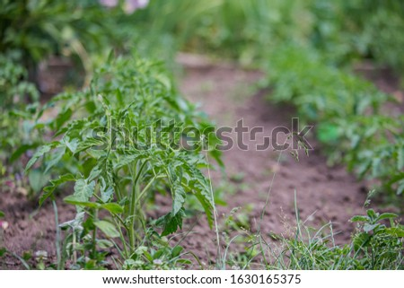 Growing tomatoes on bed in raw in field in spring. green seedling of tomatoes growing out of soil. Densely planted young tomato plants ready for planting. #1630165375