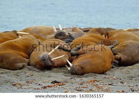 Walrus colony herd on the sand beach. Detail portrait of Walrus with big white tusk, Odobenus rosmarus, big animal in nature habitat on Svalbard, Norway. Big animals on the beach.