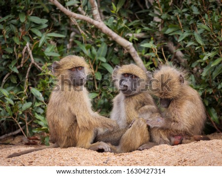 Three young chacma baboon or Cape Baboon (Papio ursinus) enjoying each other's company. Mpumlanga. South Africa