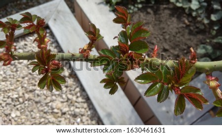 Unfurling toothed, reddish green leaves & thorns on a rose branch in April. Rose branch having new, toothed, reddish green leaves with hornsin spring. #1630461631