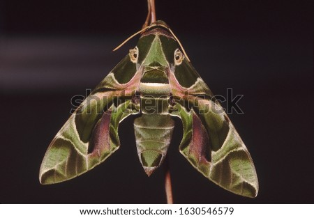 The Oleandar Hawk Moth. These are fast flying moths that migrate long distances.