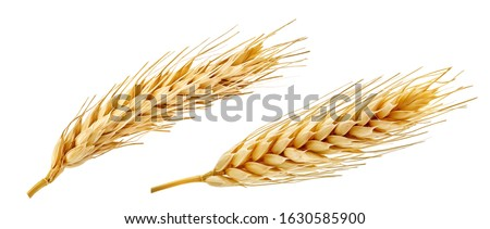 Fresh golden wheat ear isolated. Wheat ears composition close up, focus stacking, white background. Agriculture farming cereals harvest, healthy food, bread, beer package design clip art elements Royalty-Free Stock Photo #1630585900