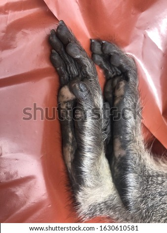 A close up view of a injured monkeys feet lying on a red plastic cover  #1630610581