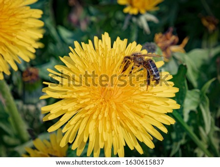 Insect, blossoms, spring - A honeybee on yellow blooming dandelion flower (Taraxacum sect. Ruderalia) on a sunny spring day in Moischt Marburg. #1630615837