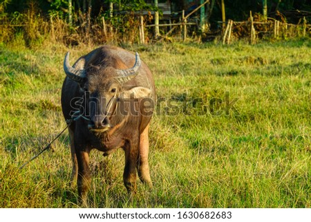 Picture of a buffalo raised in a rice field with green grass and beautiful white clouds in the orange sky at sunset in the background of the rice field.