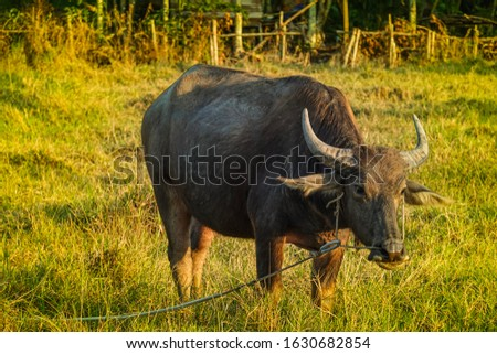 Pictures of buffalo eating grass in a field with green grass and beautiful white clouds in the orange sky at sunset in the background of rice fields in Thailand.