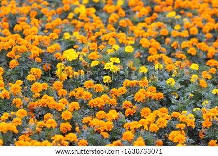 the Marigolds Tagetes erecta, Mexican marigold, Aztec marigold, African marigold #1630733071