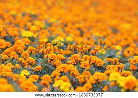 the Marigolds Tagetes erecta, Mexican marigold, Aztec marigold, African marigold #1630733077