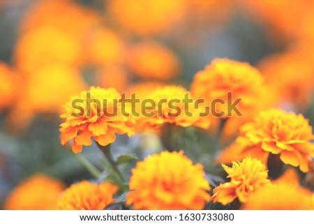 Marigolds Tagetes erecta, Mexican marigold, Aztec marigold, African marigold #1630733080