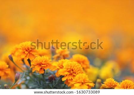 the Marigolds Tagetes erecta, Mexican marigold, Aztec marigold, African marigold #1630733089