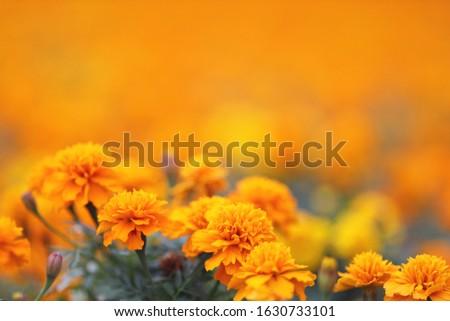 the Marigolds Tagetes erecta, Mexican marigold, Aztec marigold, African marigold #1630733101