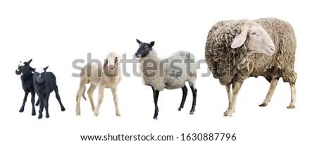 Farm animals on a white background, farm animals, farm, sheep #1630887796