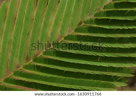 Acasia leaves on branches, small sized leaf plant. Natural botany in a garden. #1630911766