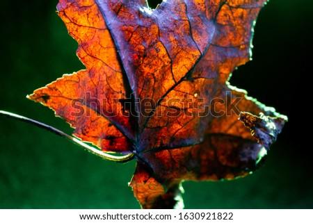 Golden acer leaf backlit showing vein texture against green background. Macro shot. #1630921822