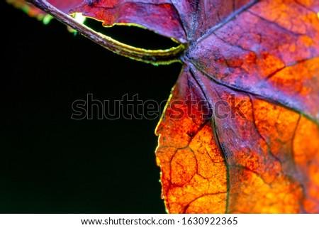 Orange acer leaf vein texture. Macro shot. Backlit with green against black background #1630922365