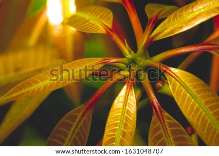 Nature. Backgrounds and textures. Leaves of mango tree ( Folhas da mangueira ).