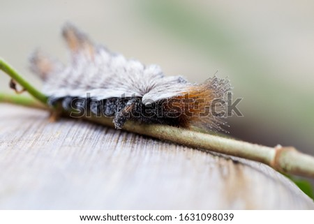 Animal world. Dangerous insect. An exotic Stinging caterpillars found in the midwest region of Brazil eating the stem of a plant. Species Podalia sp. from Family Megalopygidae.  Stunning nature.  #1631098039