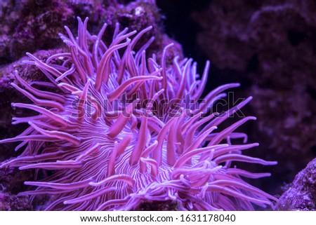 Striped Long Tentacle Anemone - Macrodactyla doreensis in underwater