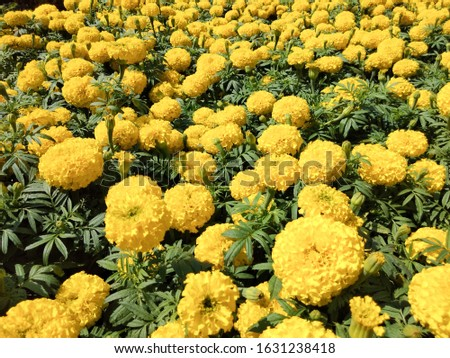 Blooming flower, Marigolds shades of yellow and orange, For background (Tagetes erecta, Mexican marigold, Aztec marigold, African marigold). #1631238418