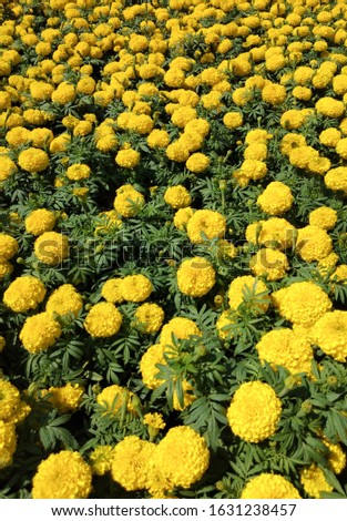 Blooming flower, Marigolds shades of yellow and orange, For background (Tagetes erecta, Mexican marigold, Aztec marigold, African marigold). #1631238457