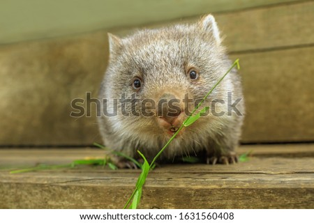 Interaction with a cute wombat joey, Australian herbivore marsupial. Front view close up of a wombat joey, Vombatus ursinus, eating grass. Royalty-Free Stock Photo #1631560408