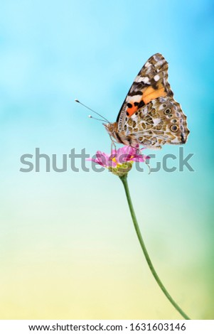 Cosmopilitan butterfly sitting on pink flower on colorful blue, cyan, yellow background. A picture of a Butterfly Painted Lady is in a minimalist style.