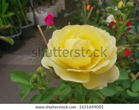 Small yellow roses, tightly stacked petals, rubber petals in full bloom. #1631649001