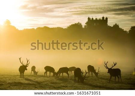 Red deer herd in misty sunrise at Wollaton Hall and Deer Park, Nottingham UK