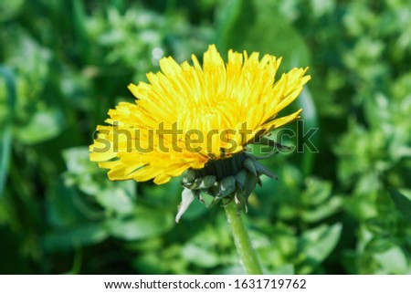 A common Dandelion in a field surrounded by greenery under sunlight with a blurry background #1631719762