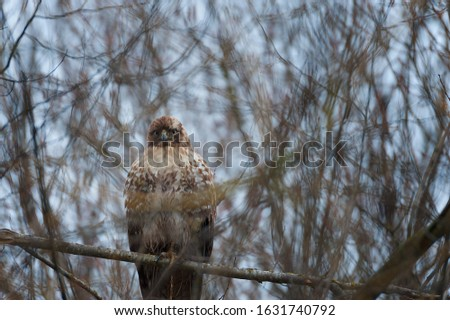 A large redtail hawk perches on tree brance keeping an eye on photographer who is not in the picture.
