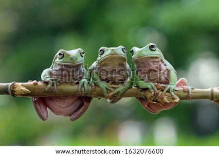 Three Australian white tree frog on leaves, dumpy frog on branch, animal closeup, amphibian closeup #1632076600