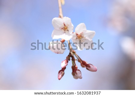Cherry blossoms are blooming. Cherry blossoms are the symbol of spring in Japan. Spring in Japan is known for the blooming of cherry blossoms. #1632081937