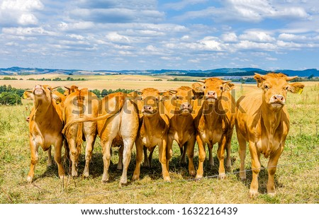 Cow herd on cow farm. Cows group portrait. Cows on pasture #1632216439