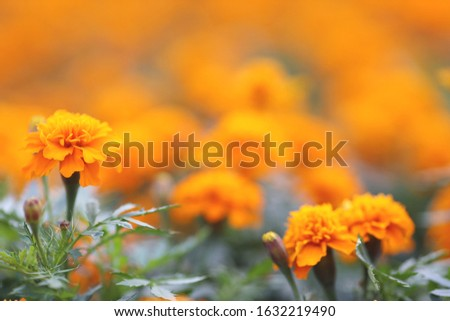 Marigolds Tagetes erecta, Mexican marigold, Aztec marigold, African marigold #1632219490