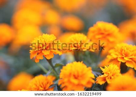 Marigolds Tagetes erecta, Mexican marigold, Aztec marigold, African marigold #1632219499