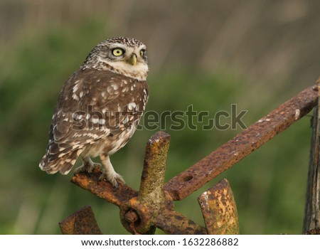 Little Owl perched on old rusty ironwork.  Lovely close, sharp picture
