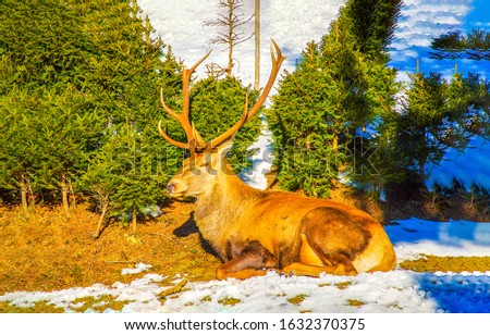 Deer lying on forest snow ground. Deer in nature. Deer in snowy forest #1632370375