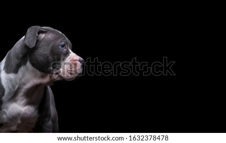 Beautiful image of a guard dog on a black background with the ability to write text. Dog breed pit bull terrier or watchdog or quard dog. #1632378478