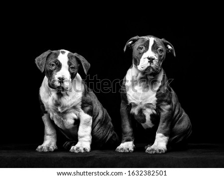 Beautiful image of a dog breed pit bull terrier sitting on a black background. Dog puppies are very cute and are both pet and watchdog. #1632382501