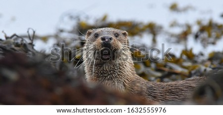 Wild otter on the Isle of Mull, Scotland.